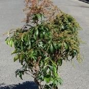 アセビ(常緑樹)